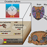 Circadian rhythm in parasite-host interactions infographic