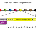 From DNA to RNA infographic